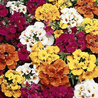 Nemesia Sundrops F1Mix 40 plug plants