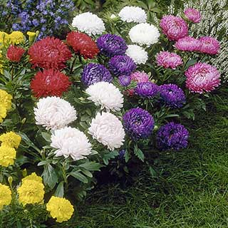 Aster 'Milady' Mix