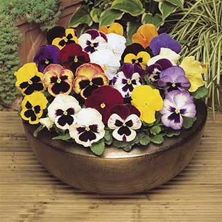 Pansy 'Mixed'
