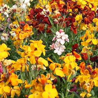 Hardy Wallflowers - Tall 'Persian Carpet' Mix
