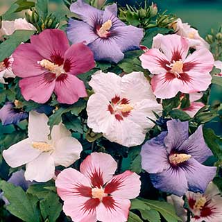 Hardy Hibiscus Syriacus Mixed