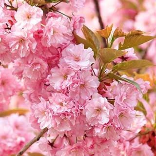 Flowering Cherry 'Kanzan'