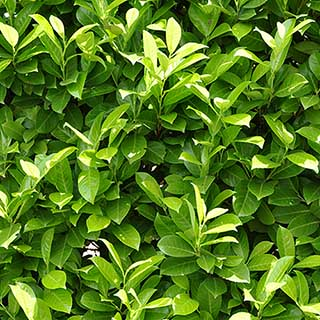 Laurel Hedging - Prunus laurocerasus