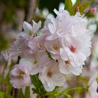 Flowering Cherry 'Amanogawa'
