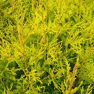 Pack of 10 x 1M Golden Leylandii plants in 2L pots