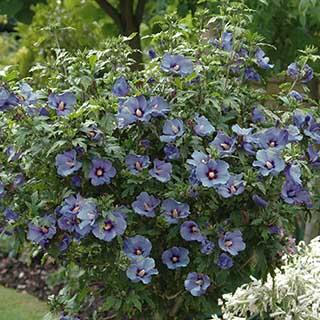 Hibiscus Marina 2L