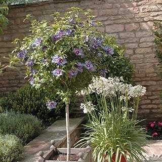 Hibiscus 'Marina Blue' Standard