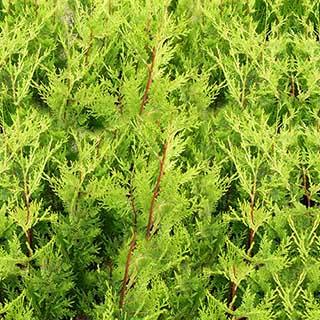 Green Leylandii - evergreen hedging