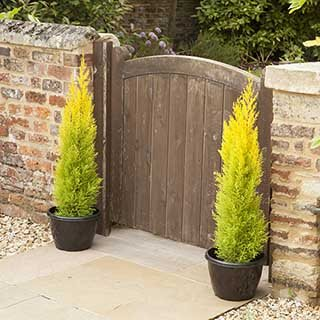 Pair Of Golden Scented Cypress 'Goldcrest'