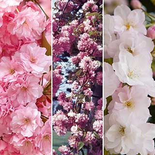 Flowering Cherry Collection