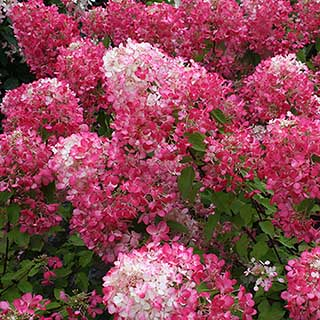 Hydrangea paniculata Collection