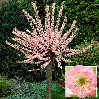 Flowering Cherry Almond 'Prunus triloba' Standard