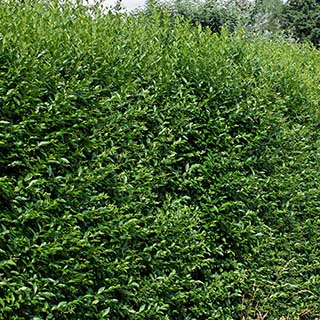 Privet Ligustrum ovalifolium Hedging