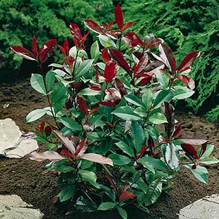 Photinia 'Little Red Robin' 2L