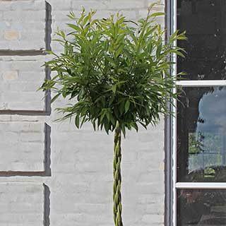 Willow Wand (R) Medium 75cm