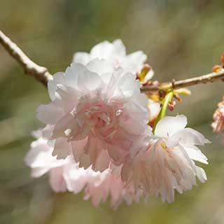 Ornamental Flowering Cherry 'Shogetsu'