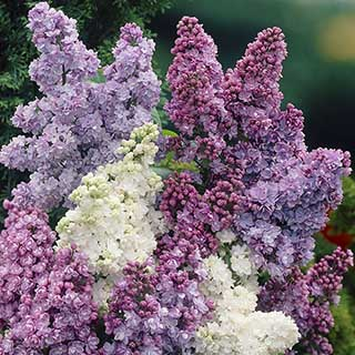 Fragramt French Lilac Collection 3 x bare root