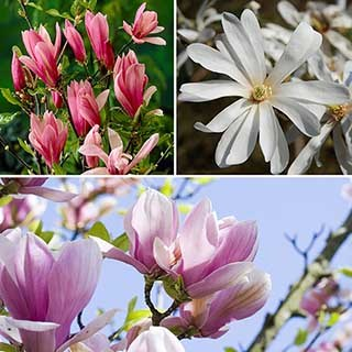 Fragrant Magnolia Collection