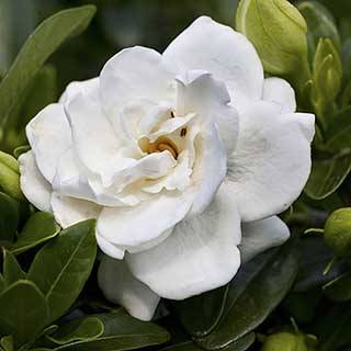 Hardy Gardenia 'Crown Jewels'