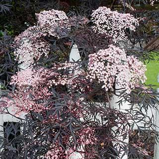 Sambucus nigra 'Black Lace' - Black Elderberry
