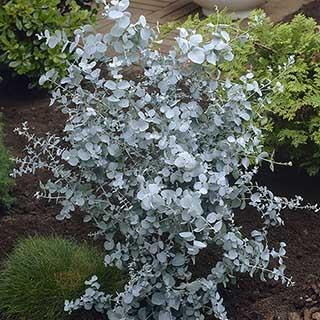 Pair of Eucalyptus gunnii 'Azura'