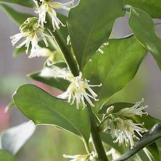 Sarcococca confusa 'Sweet Box'