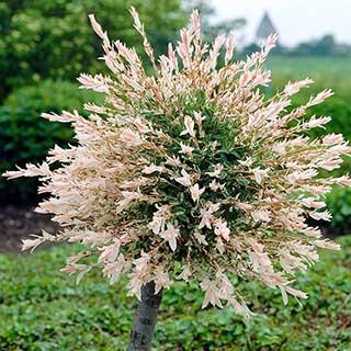 Flamingo Willow Salix 'Hakuru Nishiki' Standard