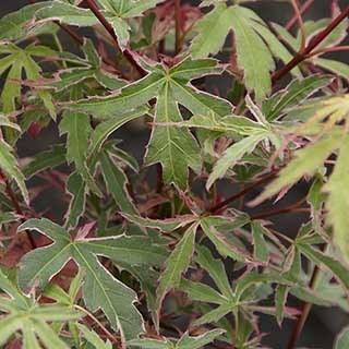 Acer palmatum 'Beni-Shichihenge'