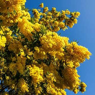 Flowering Mimosa Tree