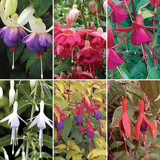 Complete Hardy Fuchsia Collection