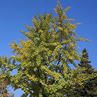Gingko biloba - Maidenhair Tree