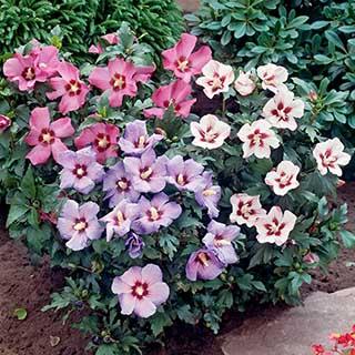Tricolour Hibiscus