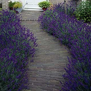 Lavendar 'Hidcote' - hedging