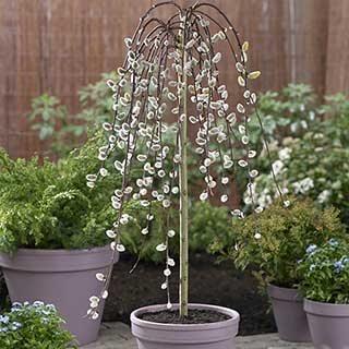 WeepingWillow Salix 'Kilmarnock' Standard