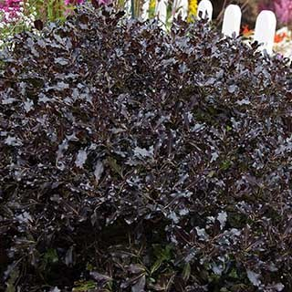 Pittosporum Tom Thumb 7L