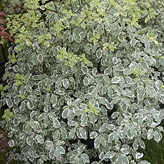 Pittosporum Elizabeth 7L