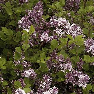 Dwarf Patio Lilac 'Palibin'