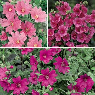 Lavatera 'Mallow' Collection