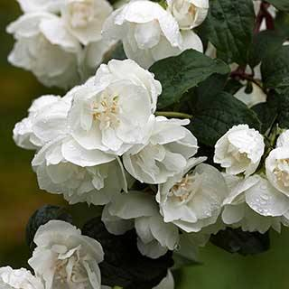 Philadelphue - Mock Orange - 'Virginal'