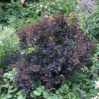 Cotinus coggygria 'Royal Purple' - Smoke Bush