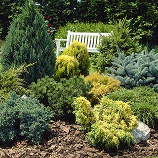 Evergreen Hardy Dwarf Conifer collection