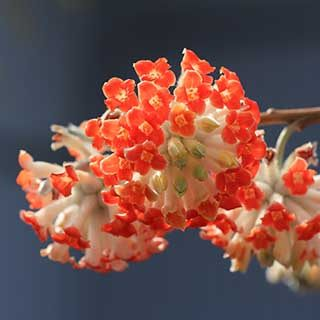 Edgeworthia chrysantha 'Red Dragon' - Paperbush