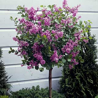 Lilac Syringa 'Josee' Standard