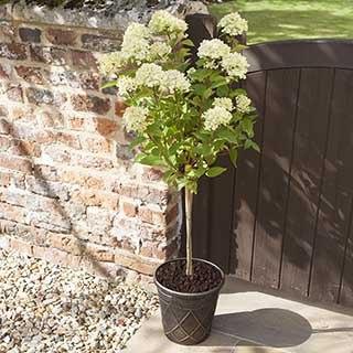 Hydrangea paniculata 'Little Lime' standard