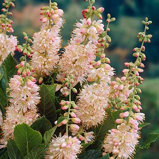 Clethra 'Pink Spire' (Summersweet)