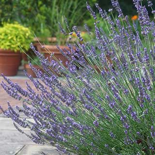 Lavender 'Phenomenal' - The Hardiest Lavender!