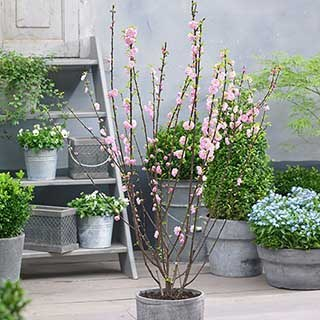 Prunus triloba 'Rosemund'