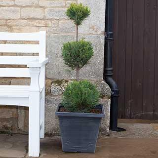 3 Ball Topiary Cupressus - Emerald Cedar