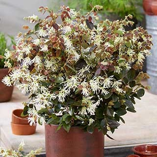 Loropetalum chinense 'Ruby Snow'