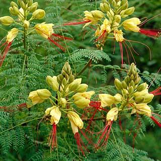 Yellow Bird of Paradise (Caesalpinia gillesii)